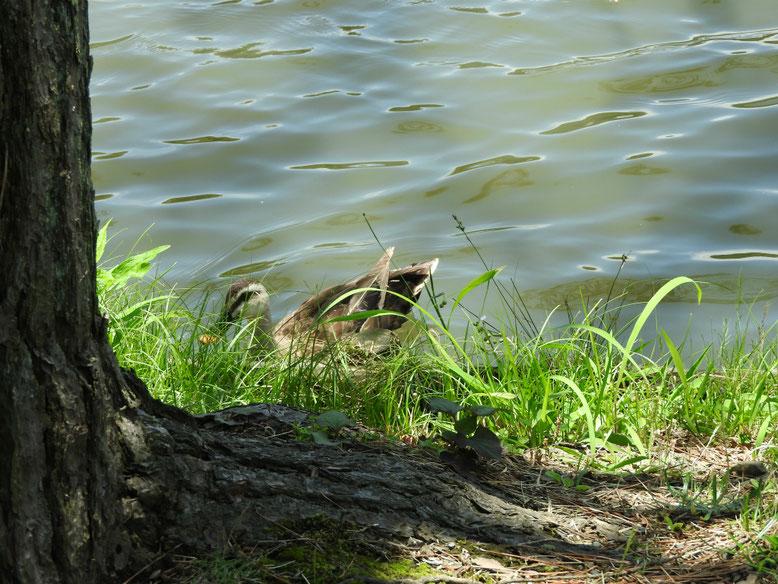 横浜 三溪園大池の夏鴨