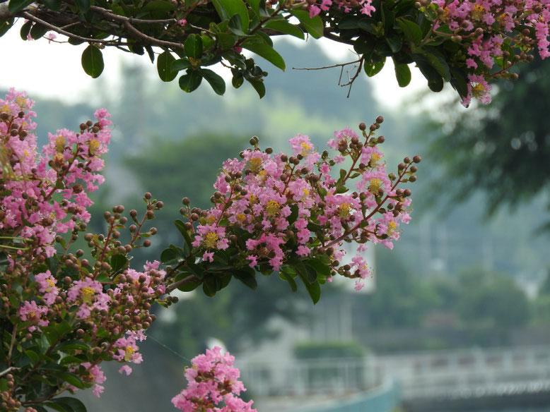 百日紅(さるすべり)ピンク 散策路 170719撮影