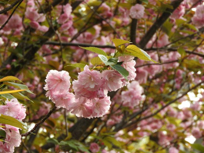八重桜(やえざくら) 散策路 2021/03/31撮影