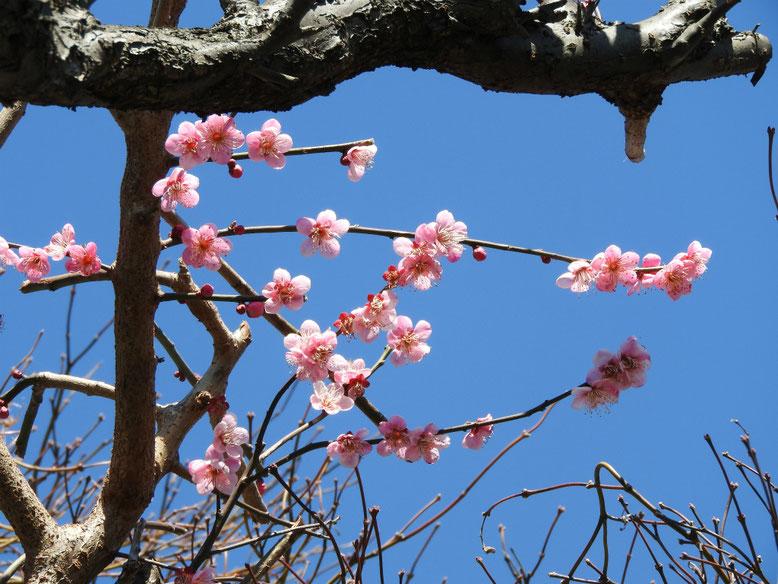 薄紅梅(うすこうばい)ピンク 散策路 170207撮影