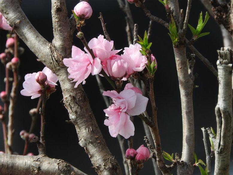 桃の花(もものはな) 散策路 2019/03/22撮影