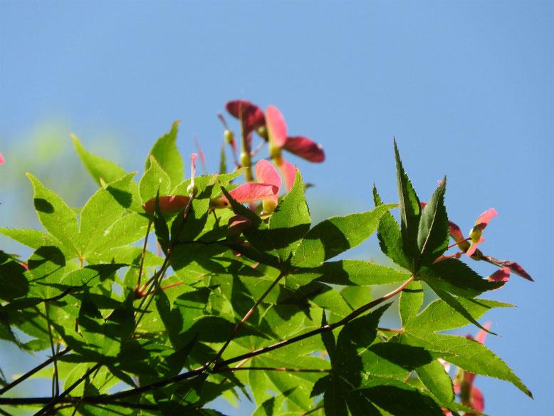 楓の翼果(カエデのよくか) 親水緑道 2020/05/17撮影