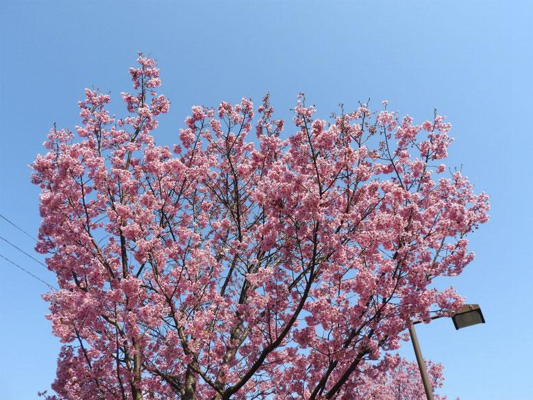 陽光桜(ようこうざくら) 散策路 170328撮影