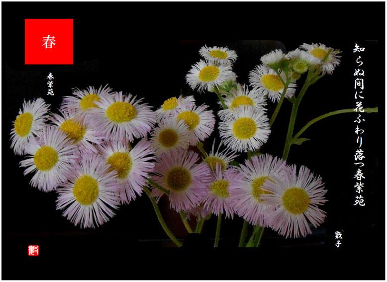 春紫苑(はるじおん) 2021/05/08制作 親水緑道の春紫苑