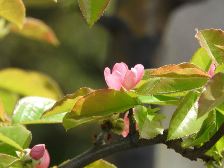 花梨の花(かりん) 散策路 219/04/14撮影
