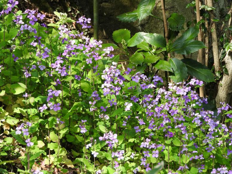紫花菜(むらさきはなな) 散策路 170320撮影