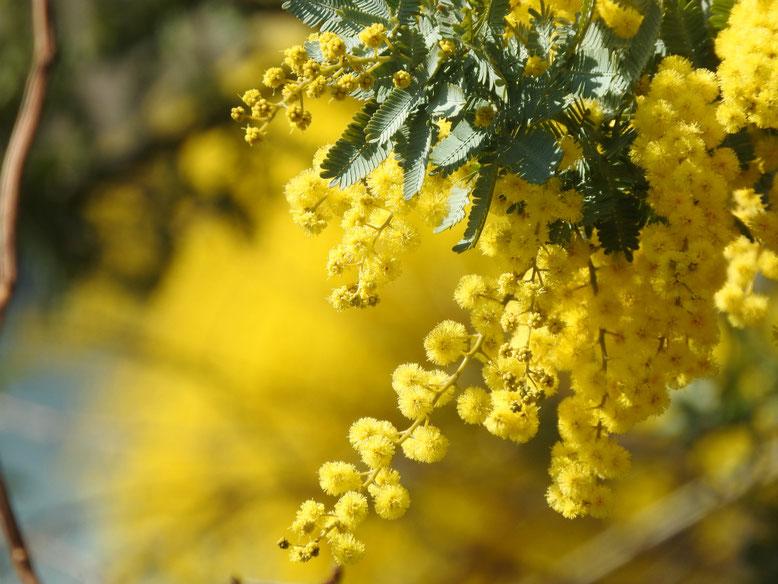ミモザの花 散策路 170216撮影