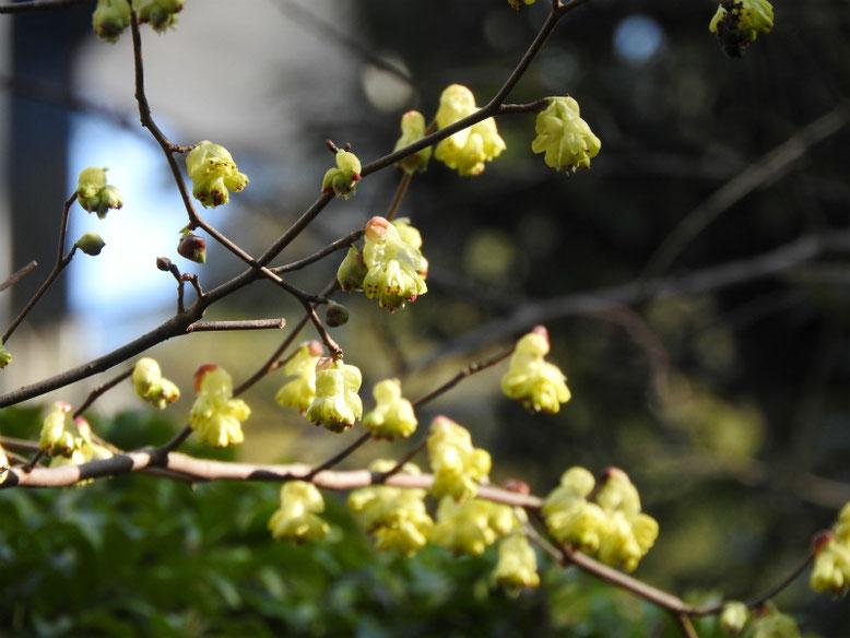 日向水木(ひゅうがみずき) 親水緑道 2020/02/24撮影
