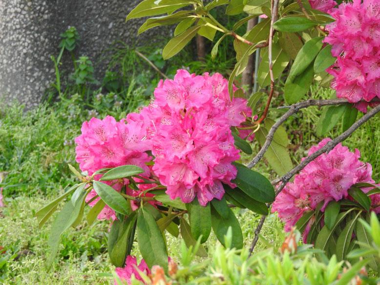 西洋石楠花(せいようしゃくなげ)散策路180407撮影