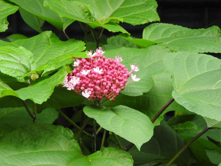 牡丹臭木(ぼたんくさぎ) 散策路 170801撮影 蕾と花