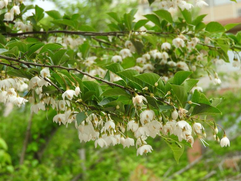 エゴノキ(萵苣の木) 散策路 170514撮影