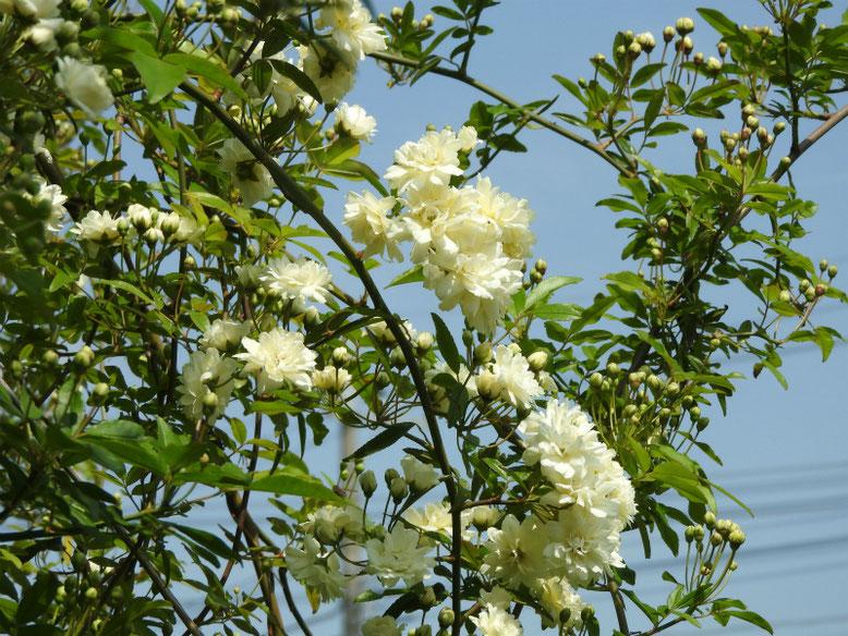 木香薔薇(もっこうばら)白色 散策路 2019/04/20撮影