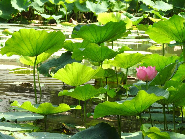 蓮の花ピンク(はすのはな) 鎌倉八幡宮源氏池 160804撮影