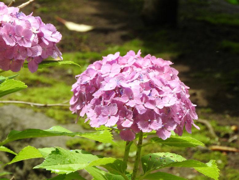 紫陽花(アジサイ) 散策路 1806007