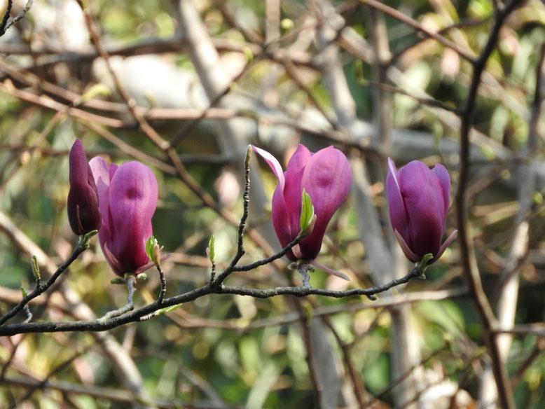 紫木蓮(しもくれん) 散策路 180331撮影