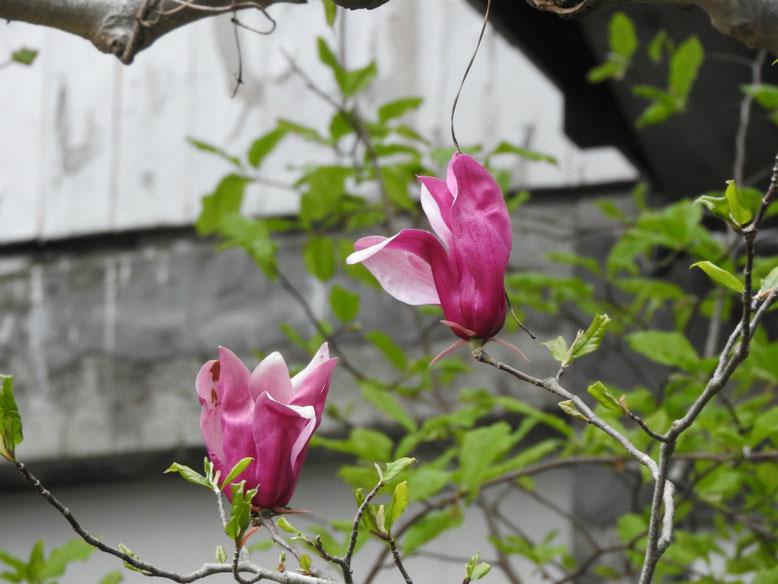 紫木蓮(しもくれん) 親水緑道 2020/04/12撮影