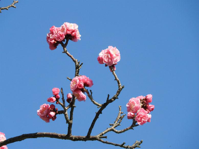 花桃の花(はなもも) 散策路 2020/03/01撮影