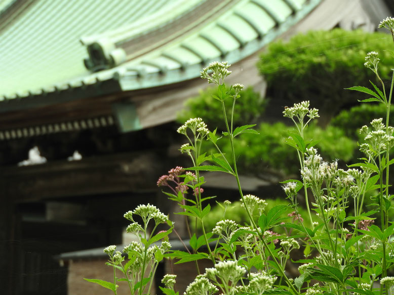 藤袴(ふじばかま) 鎌倉長谷寺 161002撮影