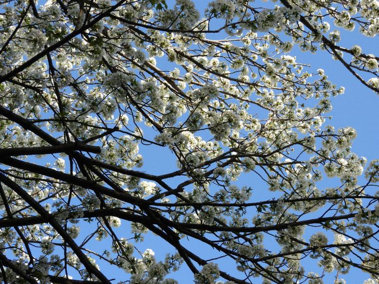 山桜(やまざくら) 散策路 2021/03/24撮影