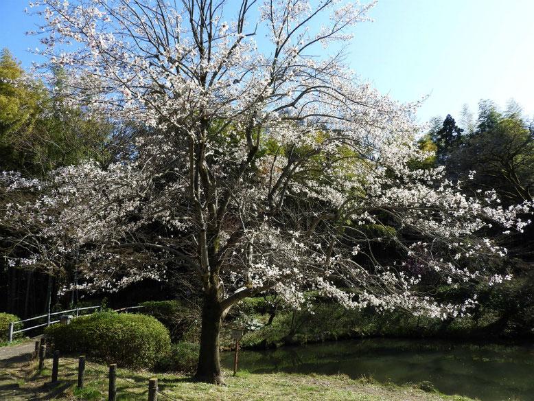 辛夷(こぶし) 緑道公園 2021/03/15撮影