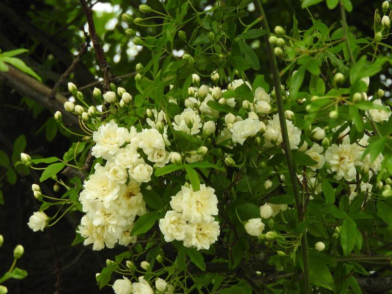 木香薔薇(もっこうばら)白色 散策路180412撮影