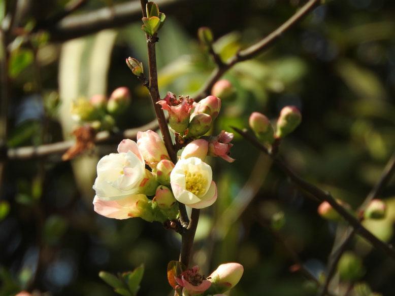 木瓜の花(ぼけ)更紗 散策路 160312撮影