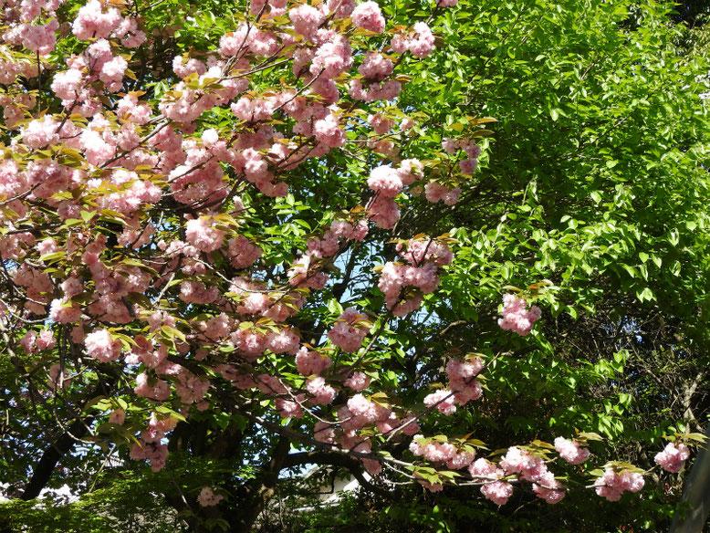 八重桜(やえざくら) 散策路 2021/04/11撮影