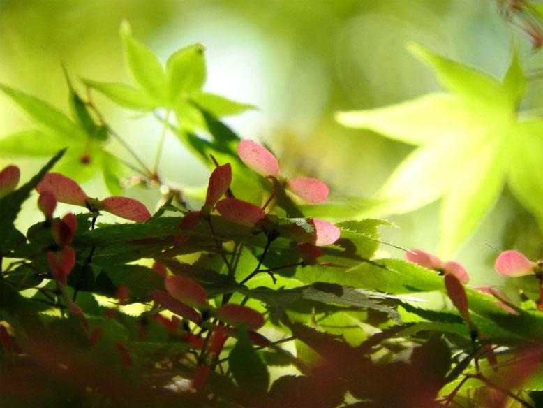 楓の翼果(カエデのよくか) 親水緑道 2021/04/18撮影