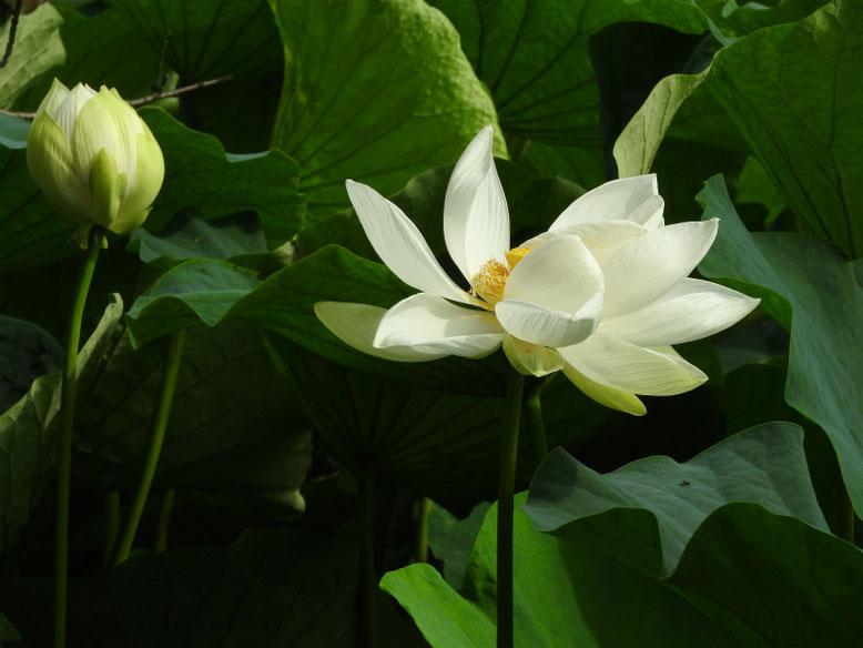 蓮の花(はす) 鶴岡八幡宮 170703撮影
