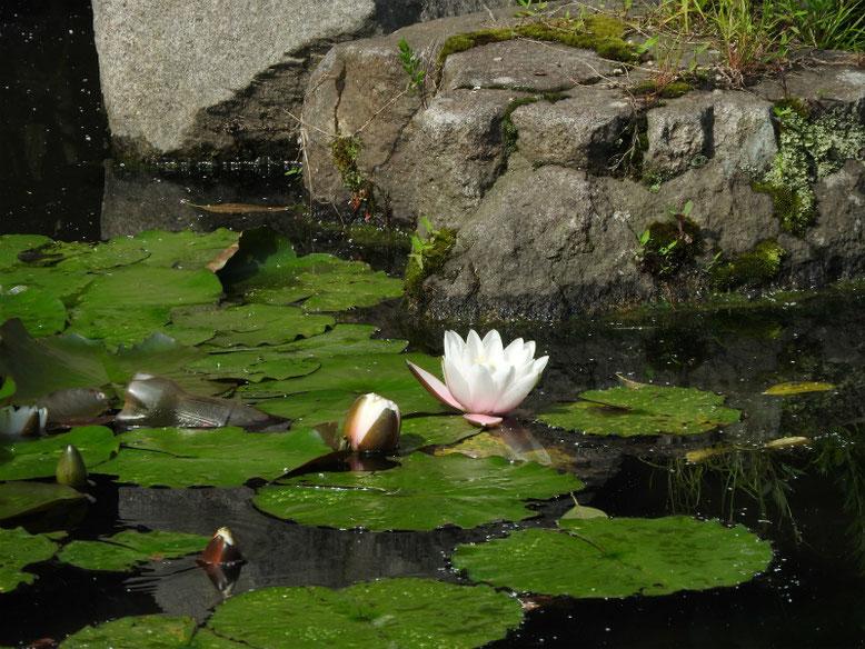 睡蓮(すいれん) 散策路公園 180524撮影