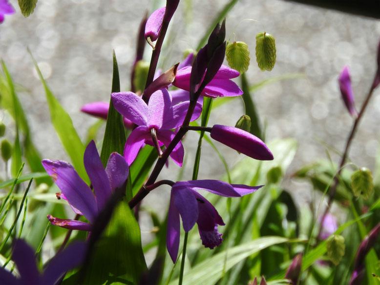 紫蘭(しらん) 散策路公園 2021/04/11撮影