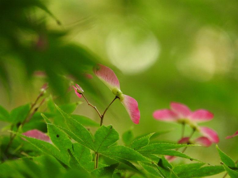 楓の翼果(カエデのよくか) 親水緑道 2019/05/11撮影