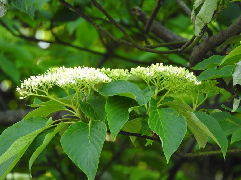 水木の花(みずき) 散策路 180421撮影