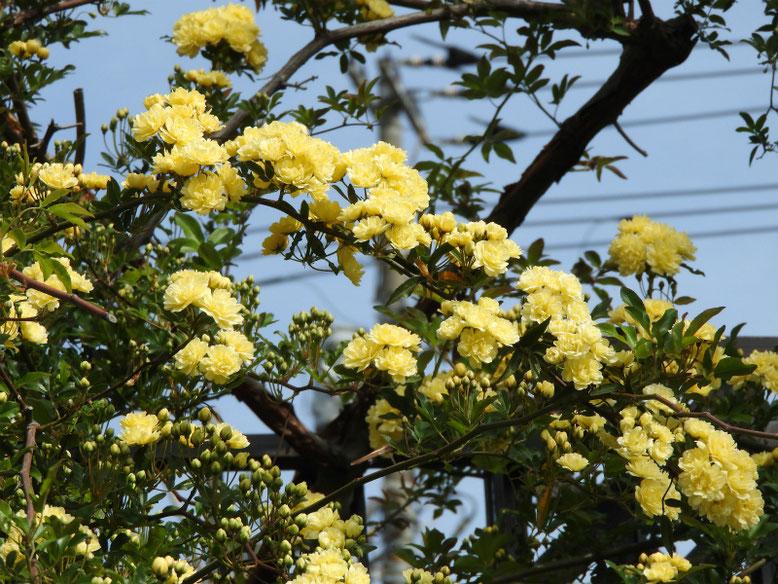 木香薔薇(もっこうばら)黄色 散策路 2019/04/20撮影