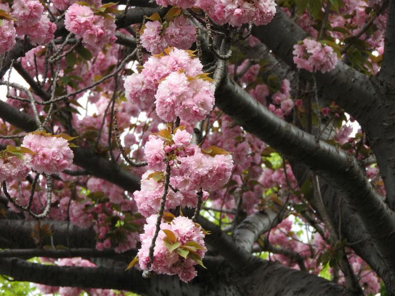 八重桜(やえざくら) 散策路 180412撮影