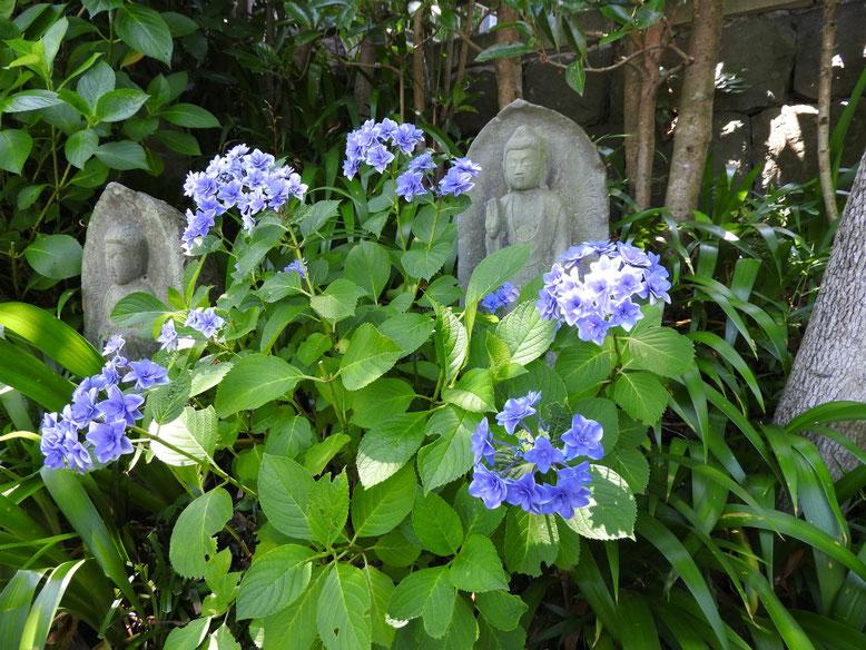 紫陽花(あじさい) 鎌倉長谷寺 160610撮影