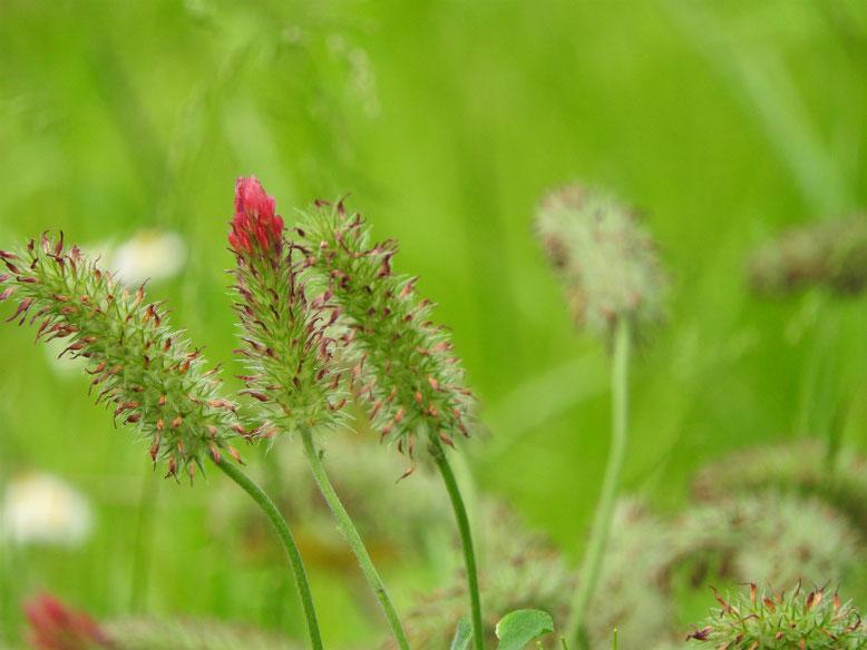 紅花詰草(べにばなつめくさ) 散策路 160505撮影