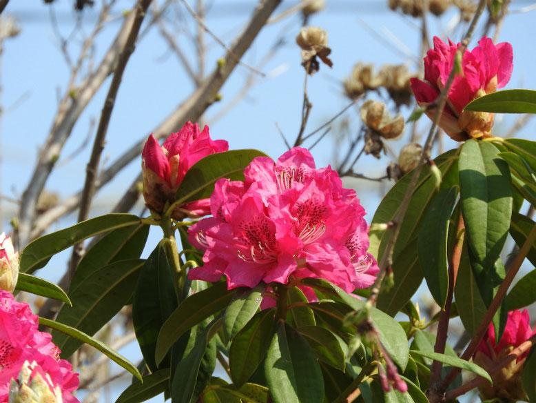 西洋石楠花(せいようしゃくなげ)散策路180328撮影
