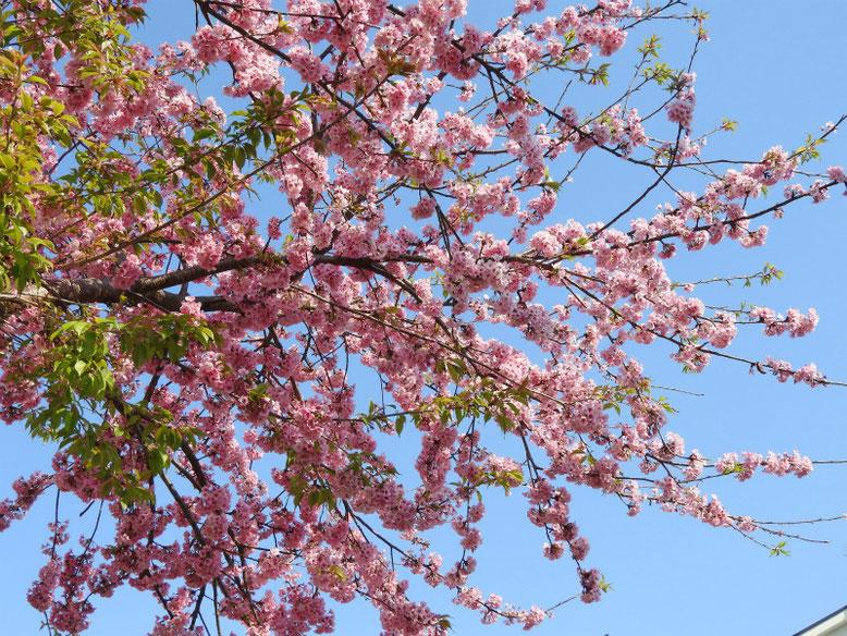 寒桜(かんざくら) 散策路 2019/03/17撮影