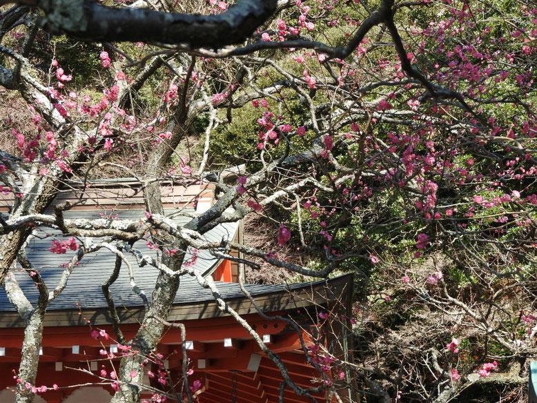 鎌倉荏柄天神社の紅梅・白梅 170111撮影