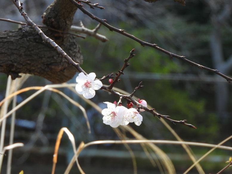杏(あんず) 散策路 2019/03/22撮影