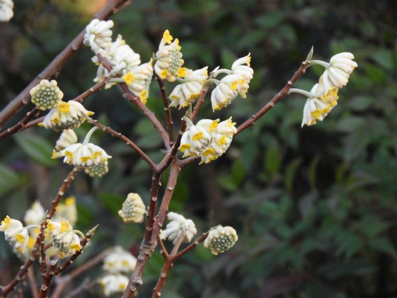 三椏の花(みつまた)散策路公園 180304撮影