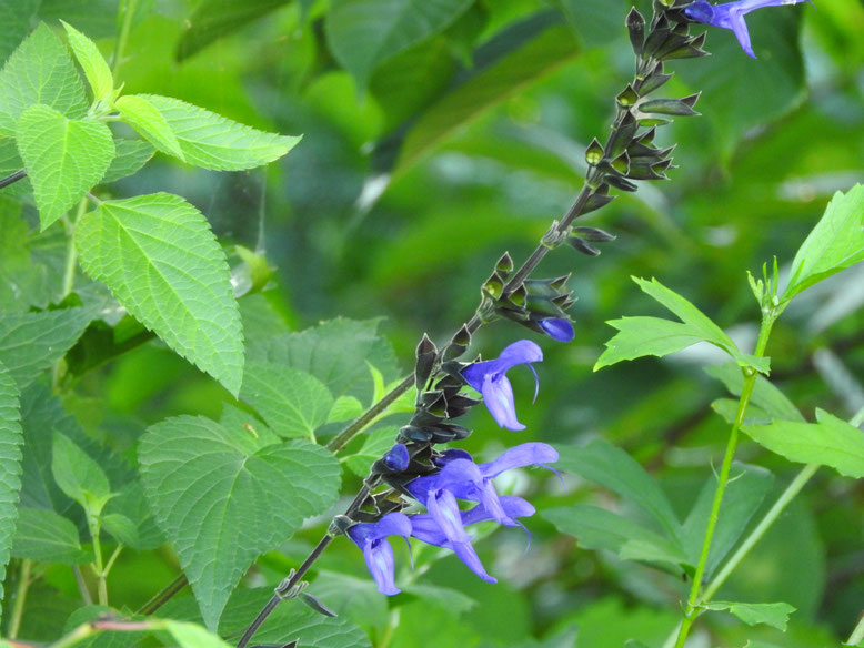 青紫ハーブセージ 散策路 160708撮影