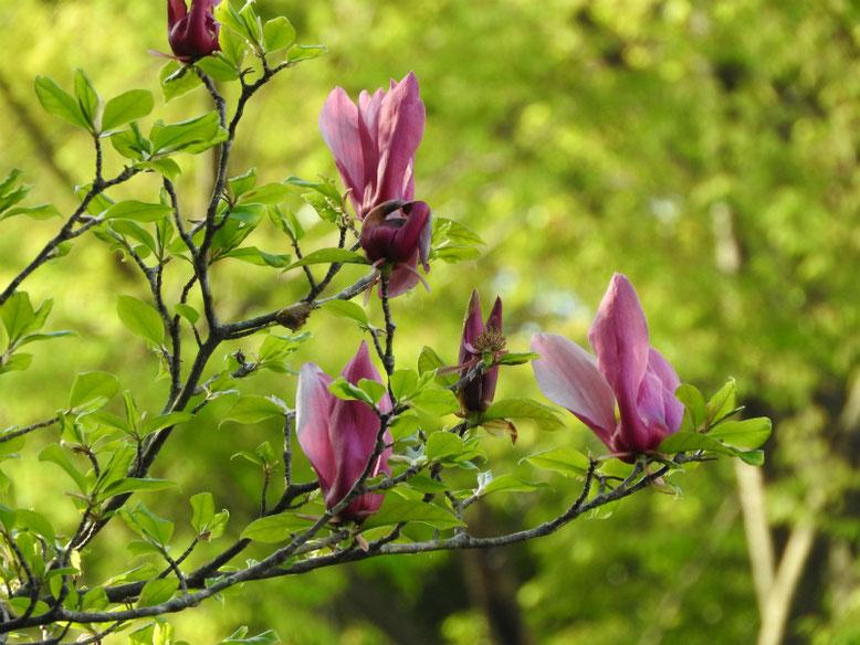 紫木蓮(しもくれん) 親水緑道 2021/04/03撮影