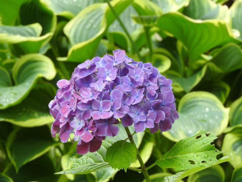 紫陽花(アジサイ) 散策路 180607撮影