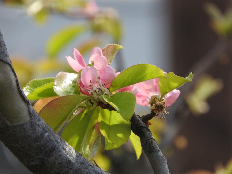 花梨の花(かりん) 散策路 2019/04/14撮影