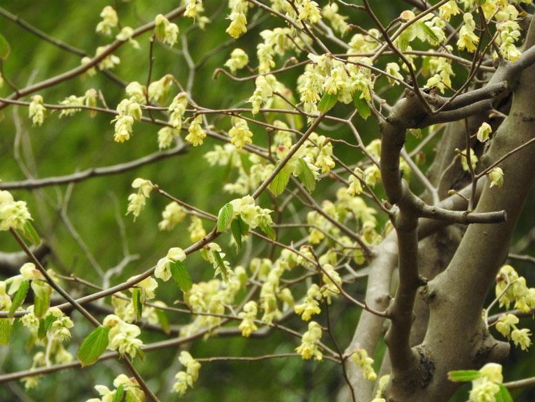 日向水木(ひゅうがみずき) 散策路 180323撮影