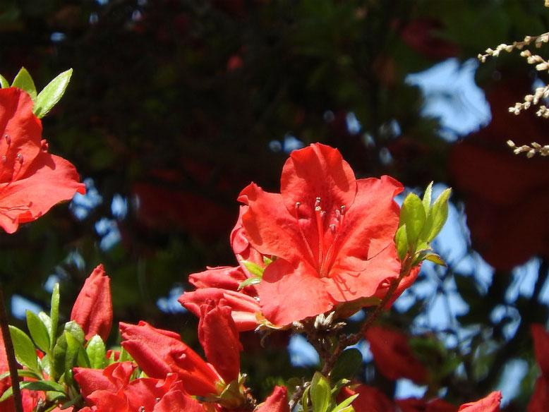 木瓜の花(ぼけ)緋木瓜 散策路 160422撮影