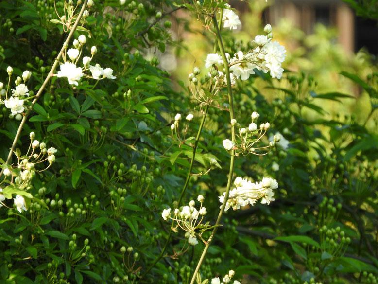 木香薔薇(もっこうばら)白色 散策路 2021/04/03撮影