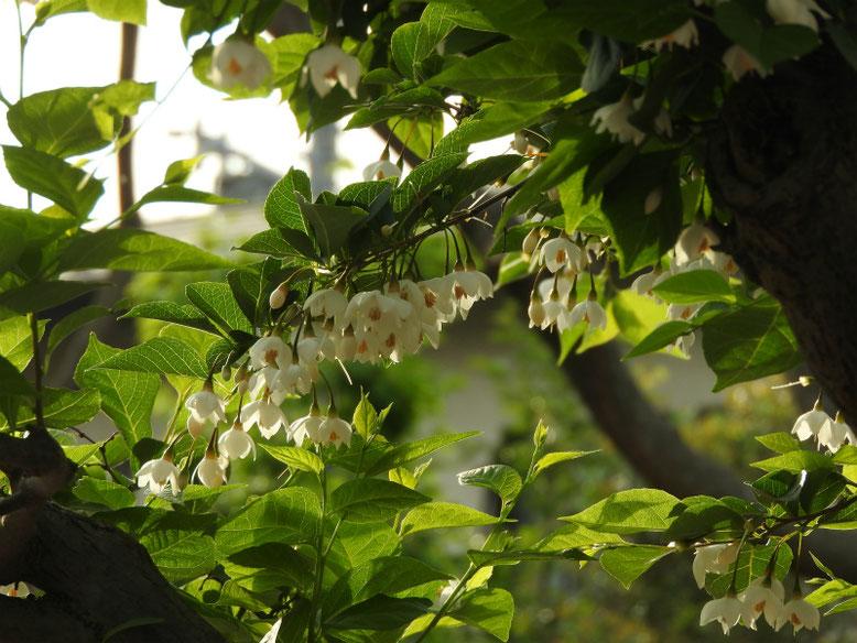 萵苣の木(ちしゃのき)エゴノキ  散策路 2019/05/11撮影